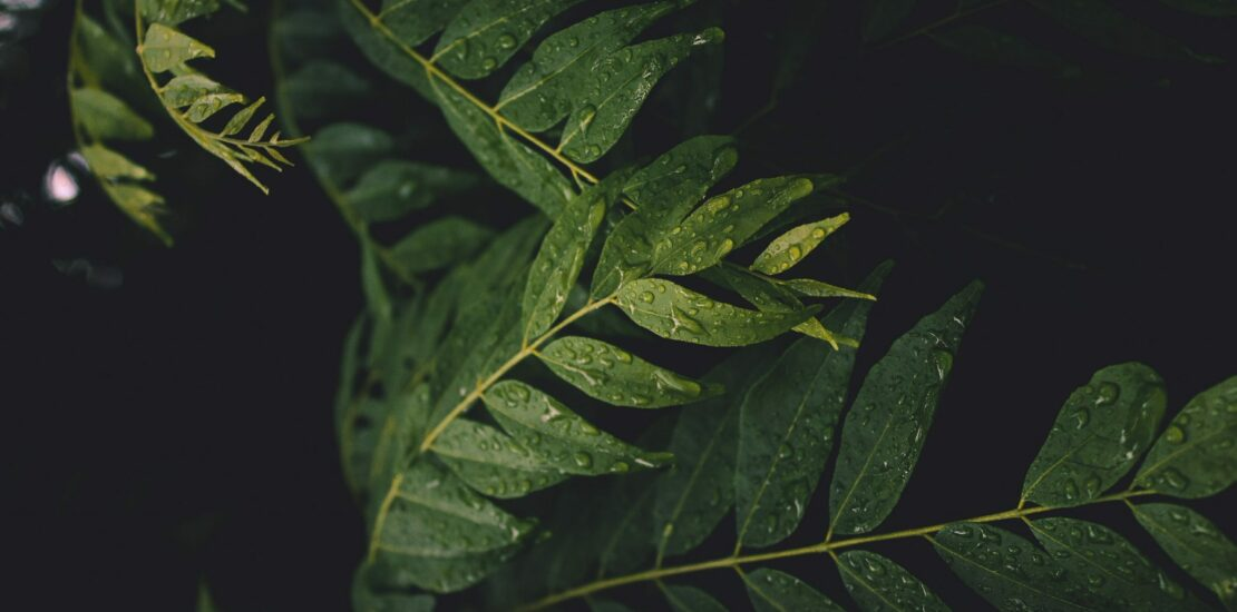 Curry leaves. By Mayank Gaur on Unsplash