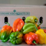 Update on plant health rules for fresh capsicum exported to the EU