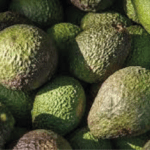 Opportunité d'exportation de produits éthiopiens après des essais concluants sur l'avocat