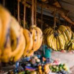 Support for NPPOs: Banana fusarium wilt TR4 in West Africa