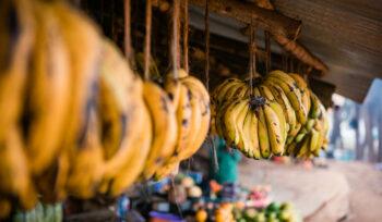 Soutien aux ONPV : Flétrissement fusarien TR4 de la banane en Afrique de l'Ouest