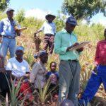 Zimbabwe: Pineapple smallholders achieve organic certification